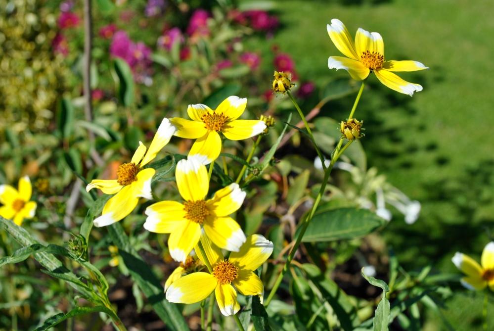 Bidens aurea 'Hannay's Lemon Drop' (1/3)