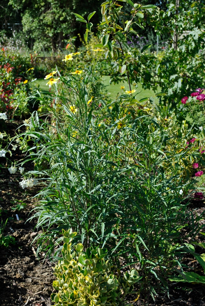 Bidens aurea 'Hannay's Lemon Drop' (3/3)