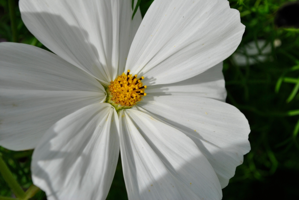 Plant of the Day - Cosmos (1/4)