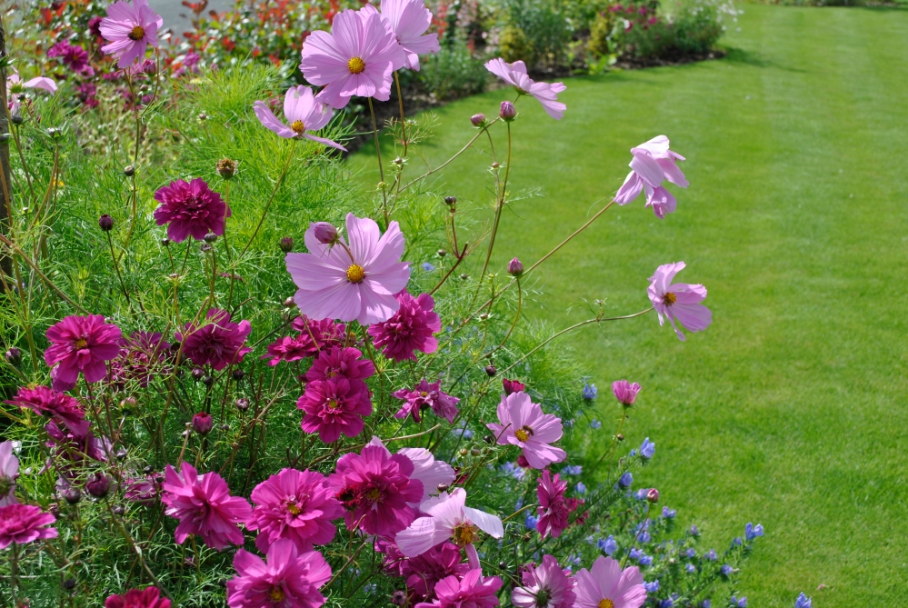 Plant of the Day - Cosmos (2/4)