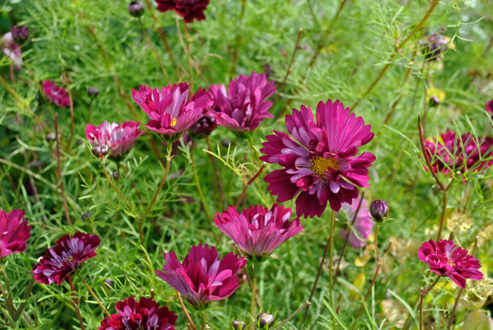 Plant of the Day - Cosmos (3/4)