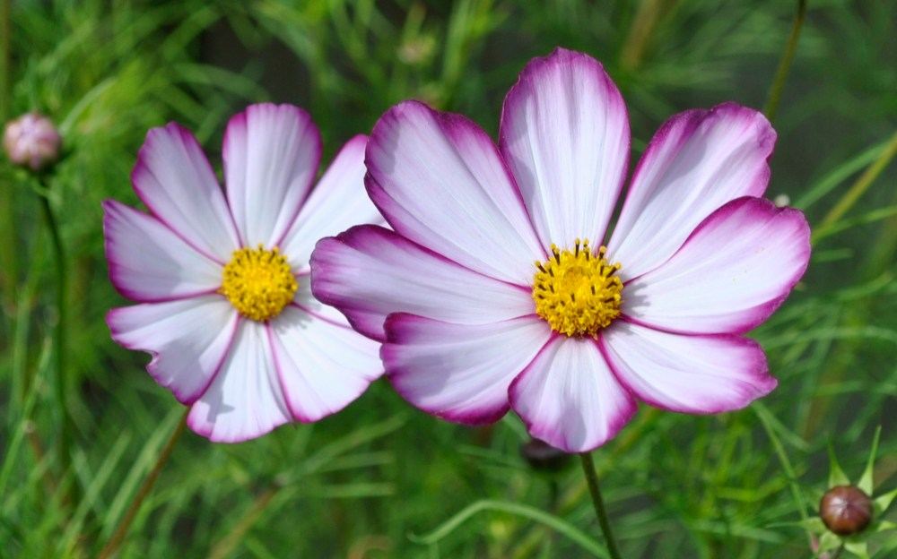 Plant of the Day - Cosmos (4/4)