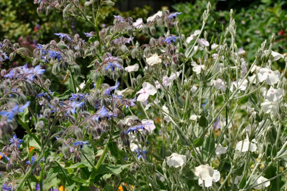 Lychnis coronaria alba with Borage