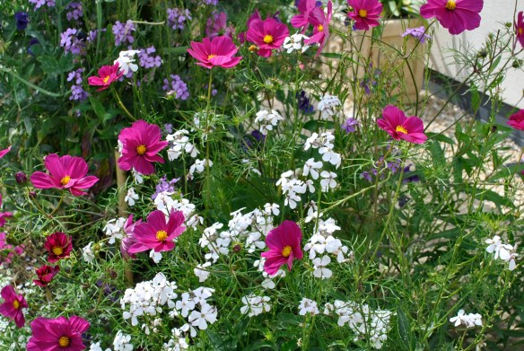 Cosmos bipinnatus with Hesperis matronalis
