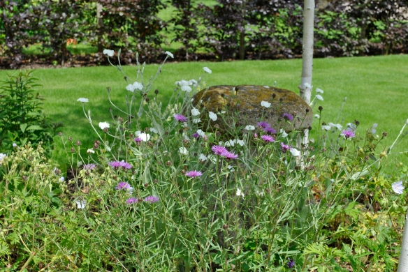 Lychnis coronaria alba with Knapweed