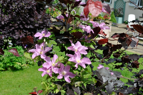 Purple Beech and Clematis