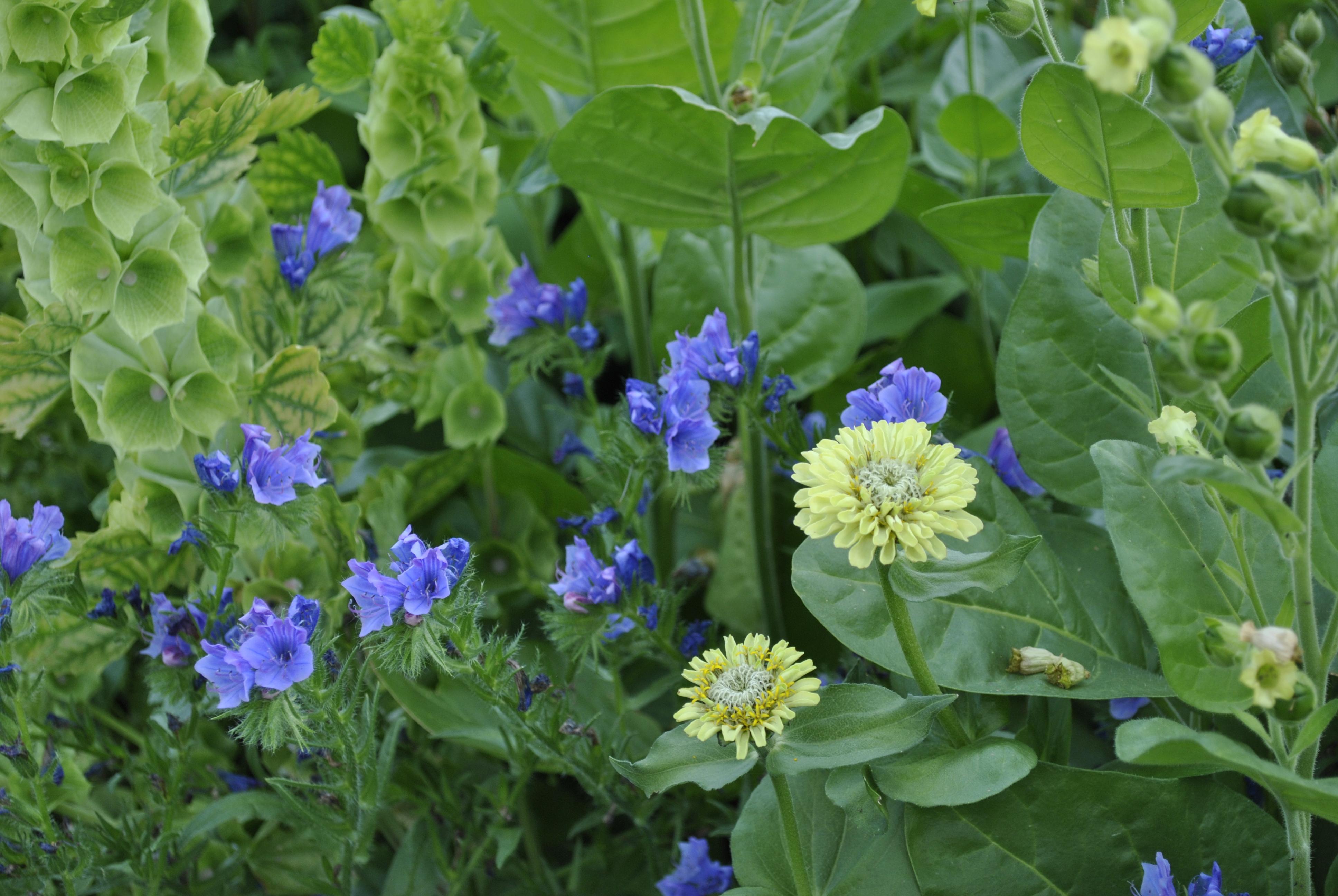 Echium 'Blue Bedder' with Zinnia 'Lime Green' and Bells of Ireland