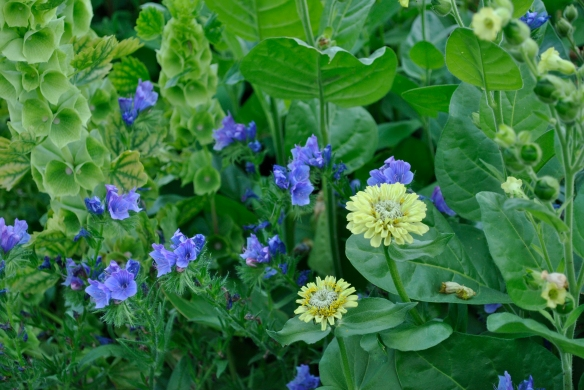 Echium 'Blue Bedder' with Zinnia 'Lime Green' and Bells of Ireland