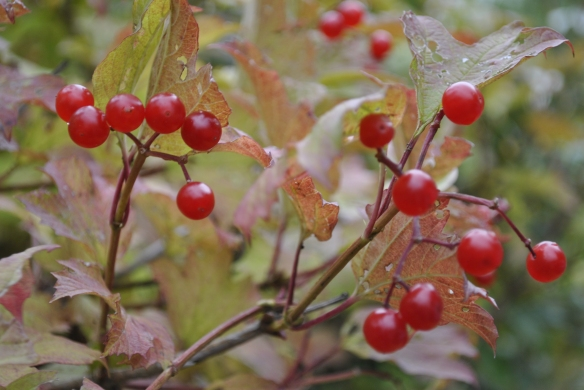 Virburnum opulus, the Guelder Rose