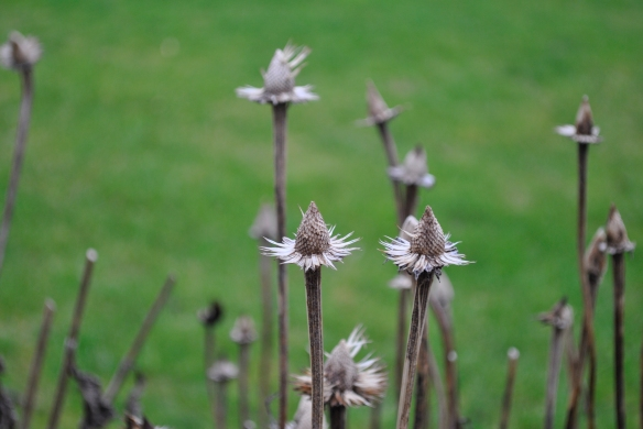 Echinacea seed heads stripped by the birds