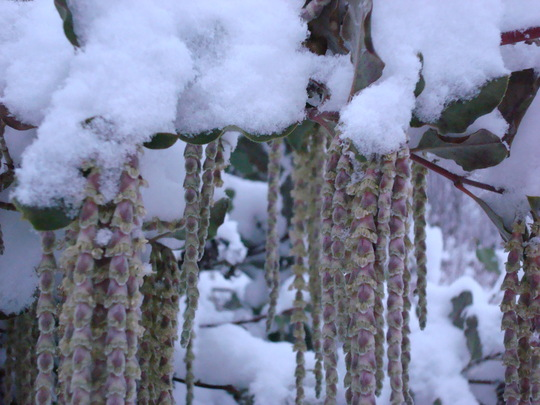 Garrya elliptica catkins in the snow