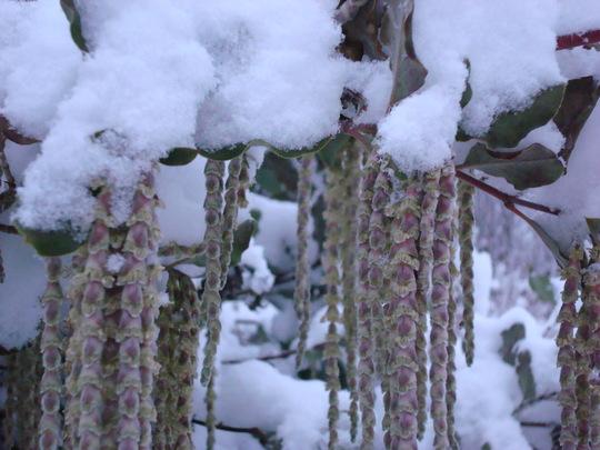 Garrya elliptica catkins in the snow