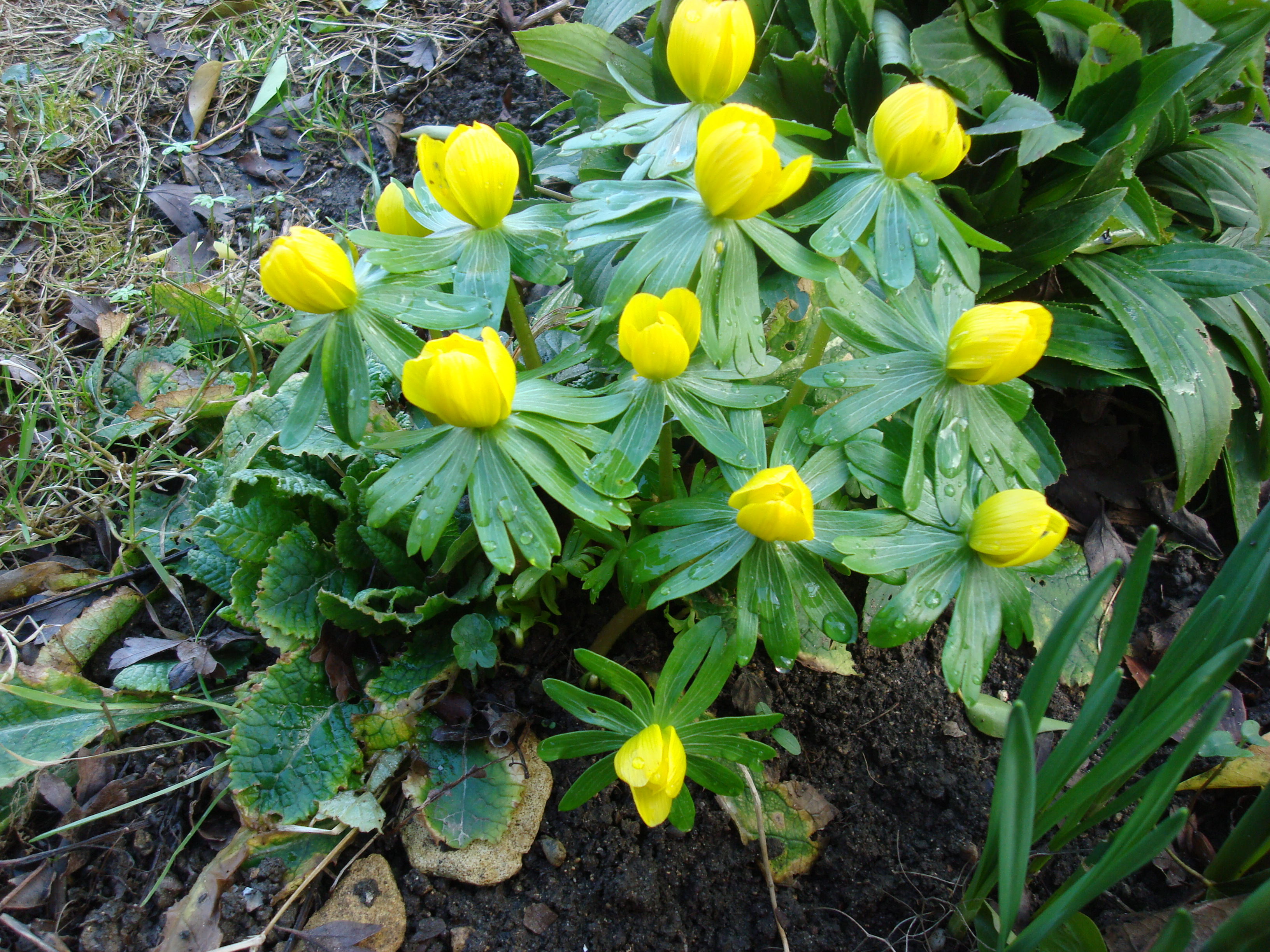 Eranthis hyemale, the Winter aconite