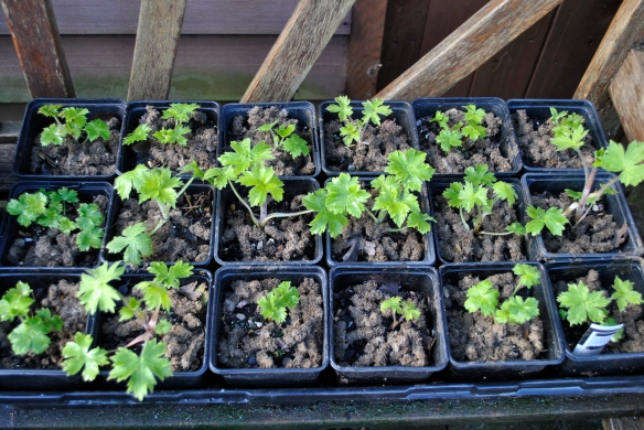 Delphinium seedlings with wool pellets