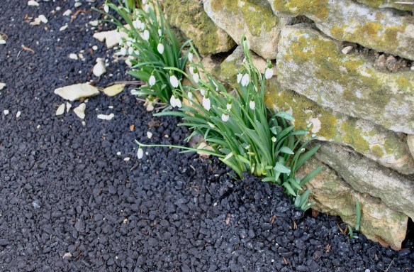 Strong Snowdrops!