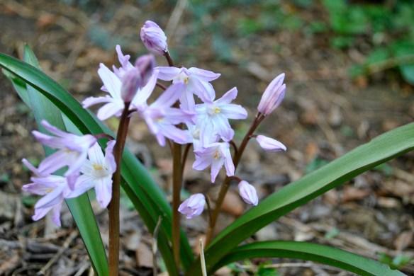 Chinodoxa luciiae 'Pink Giant'