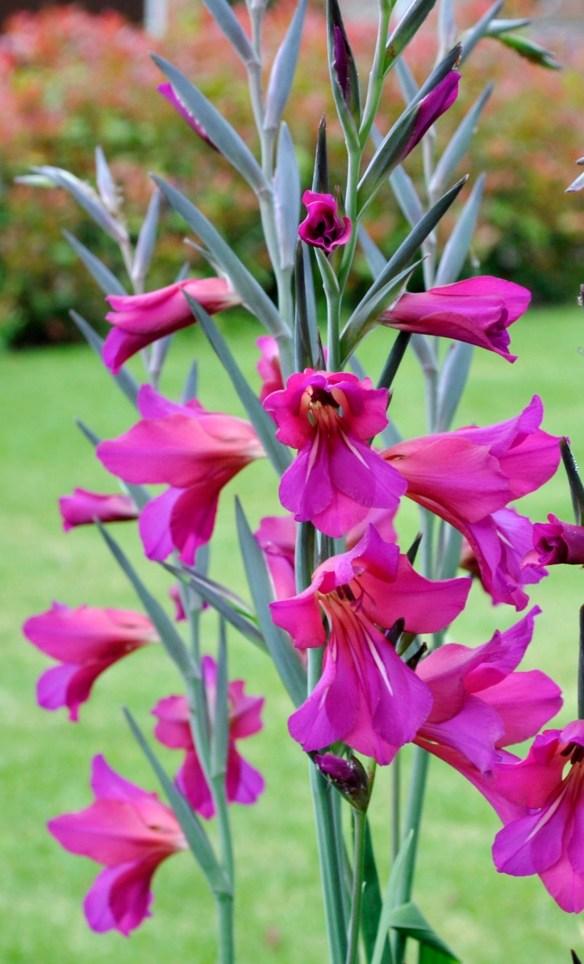 Gladiolus communis byzantinus
