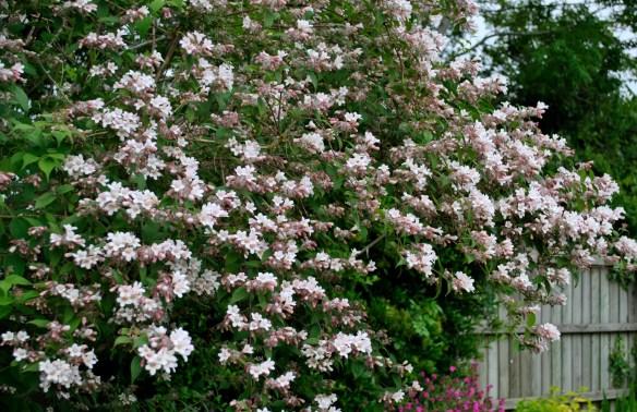 Kolwitzia amabilis 'Pink Cloud'