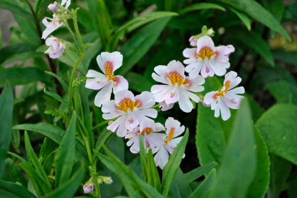 Schizanthus 'Angel Wings Mixed'