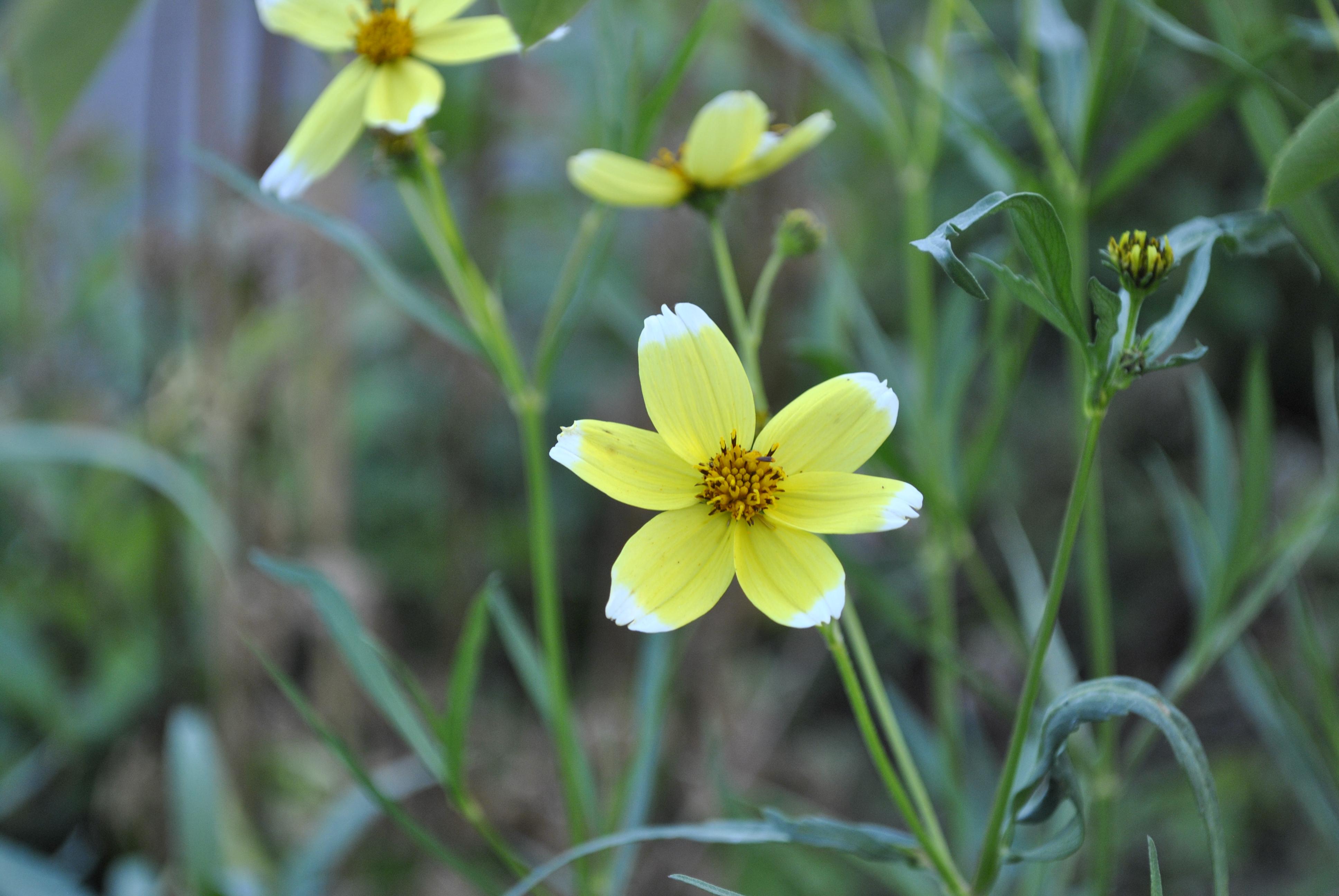 Bidens aurea 'Hannays Lemon Drop 2'