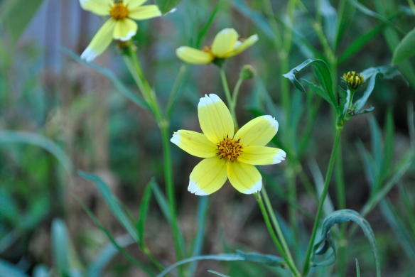 Bidens aurea 'Hannays Lemon Drop 2'
