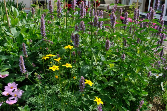 Agastache 'Liqorice Blue' with Bidens 'Golden Goddess'