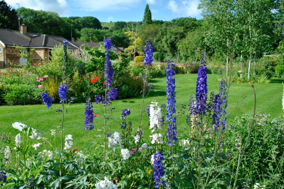 Delphiniums looking good