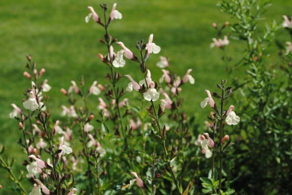 Salvia 'Trelissick'