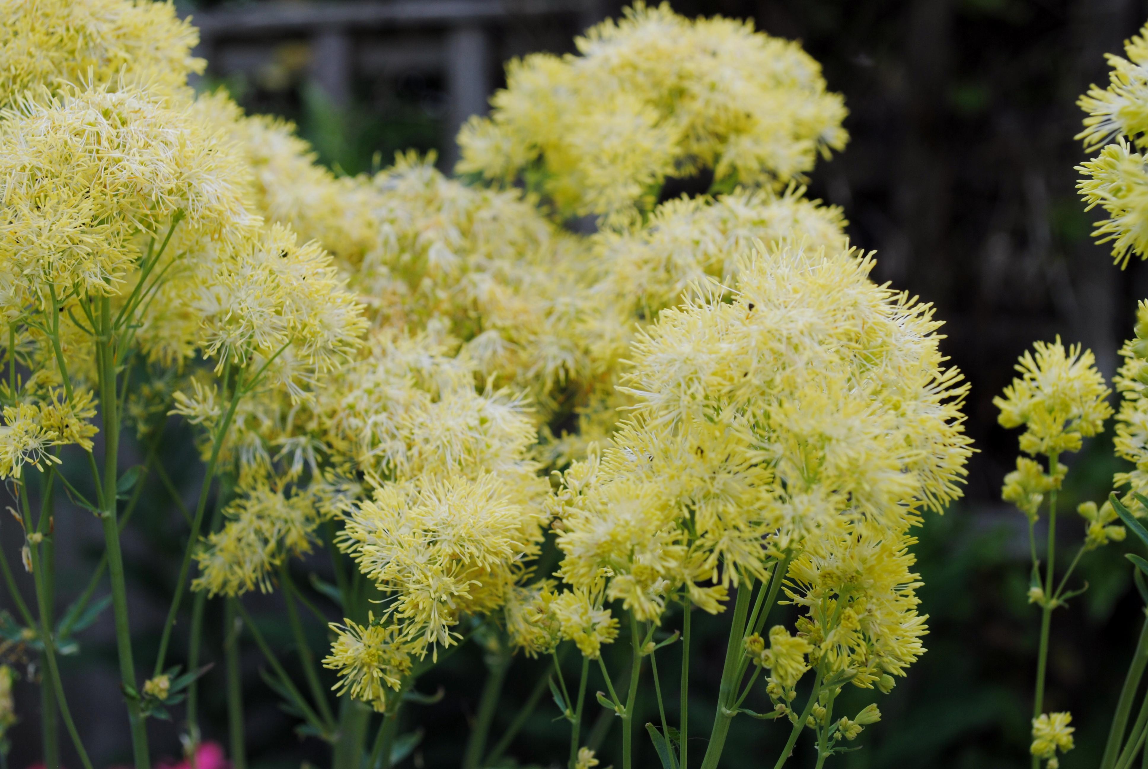 Thalictrum flavum subsp. glaucum (Meadow Rue)