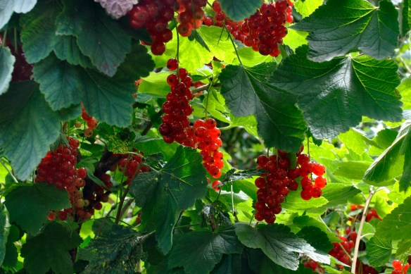 Redcurrants